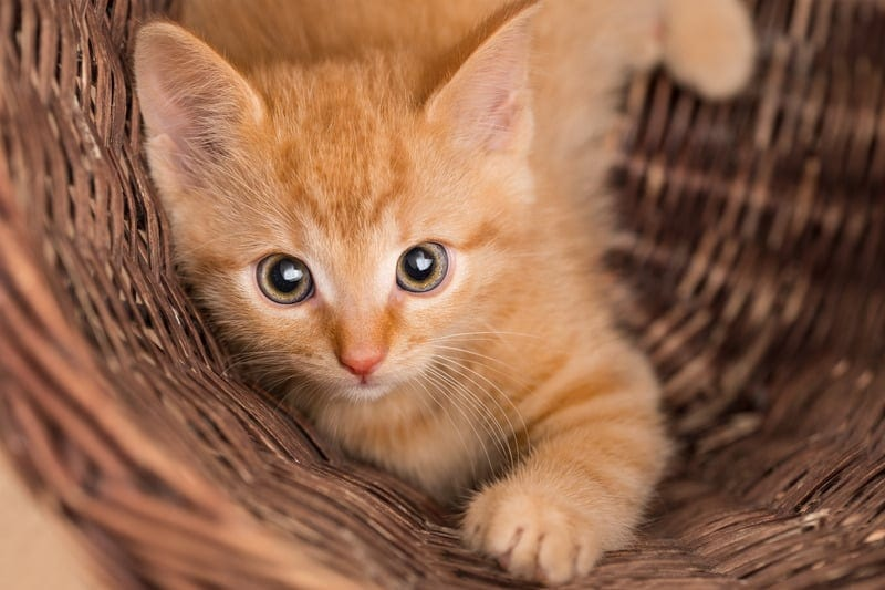 ginger tabby cat facts