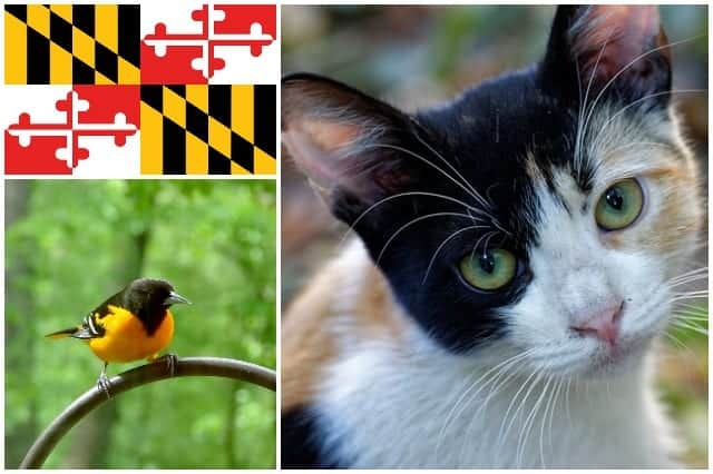Image result for calico cat maryland