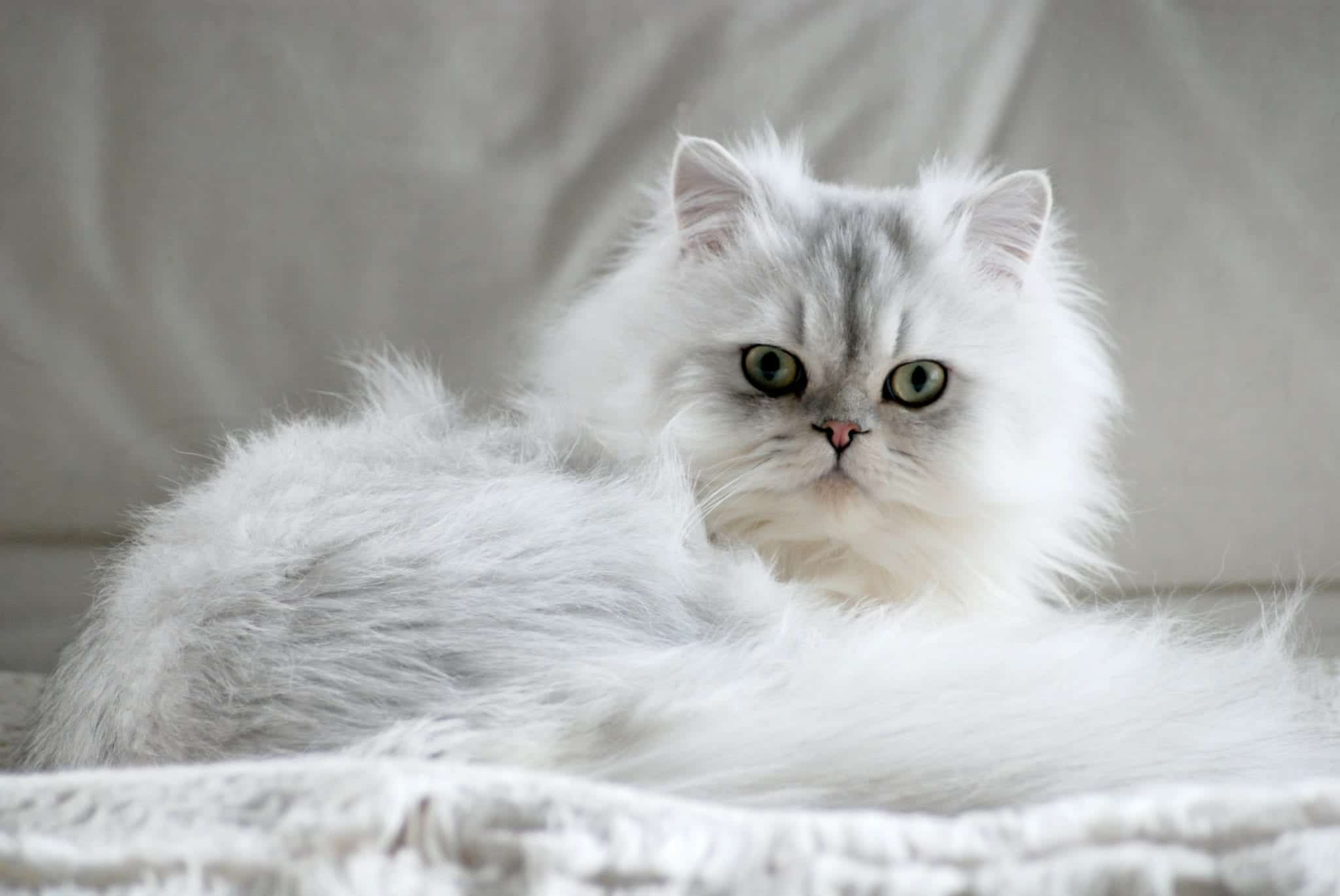 Feline 411 About Persian Cats Cattitude Daily