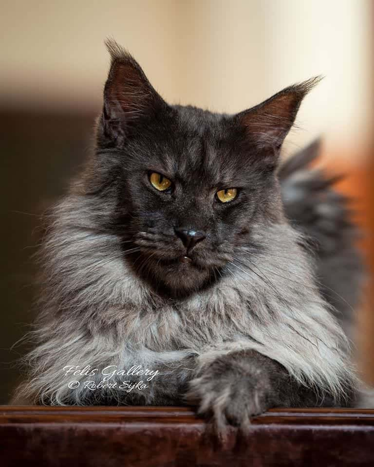 Vivo the maine coon