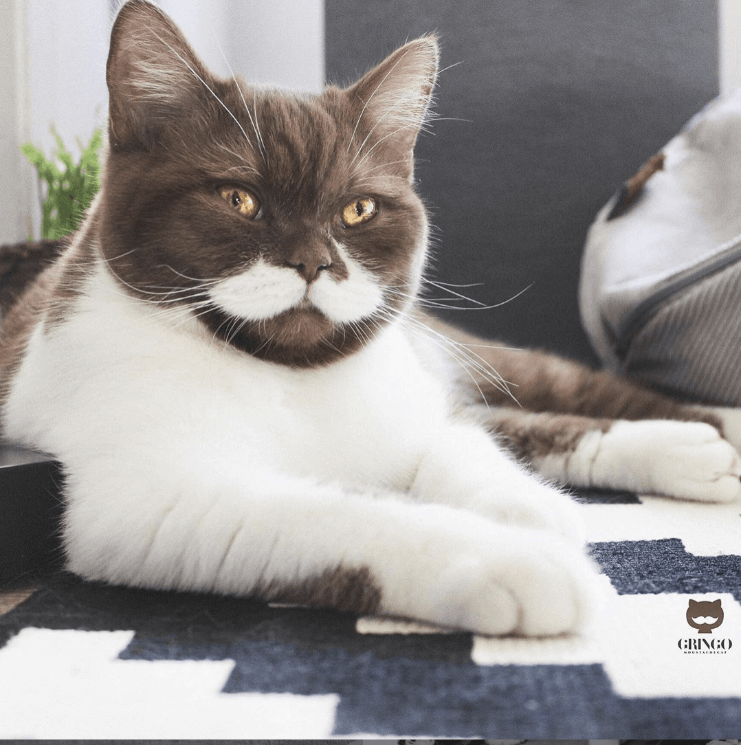 gringo the moustache cat