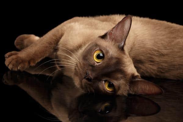 smartest cat breeds