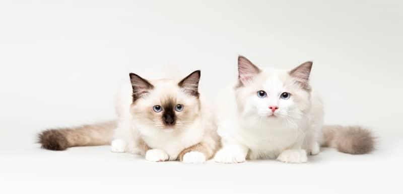 fluffiest cat breeds