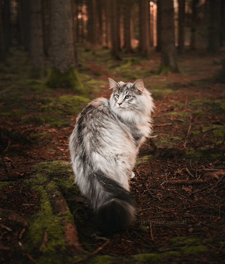 Aslan the forest cat