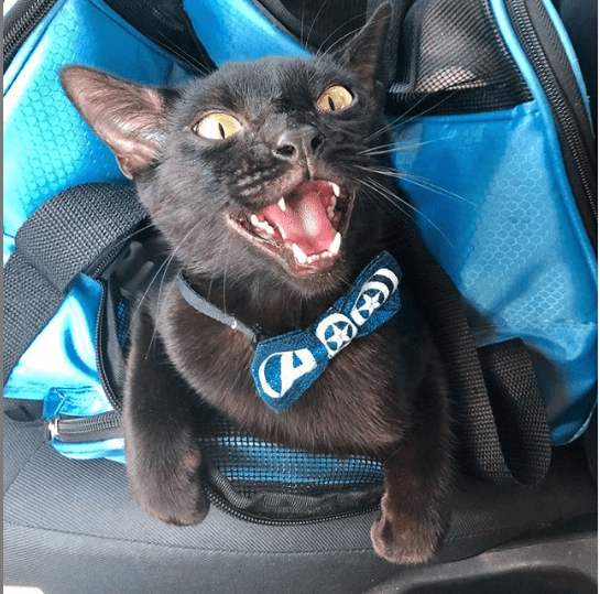 Aries the Ambassador Cat