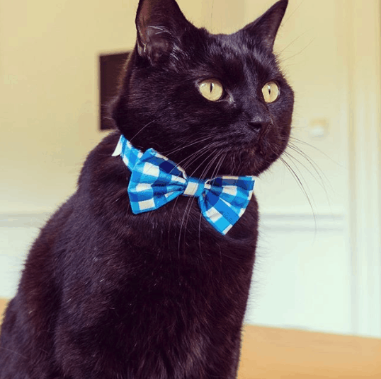 gladstone the treasury cat