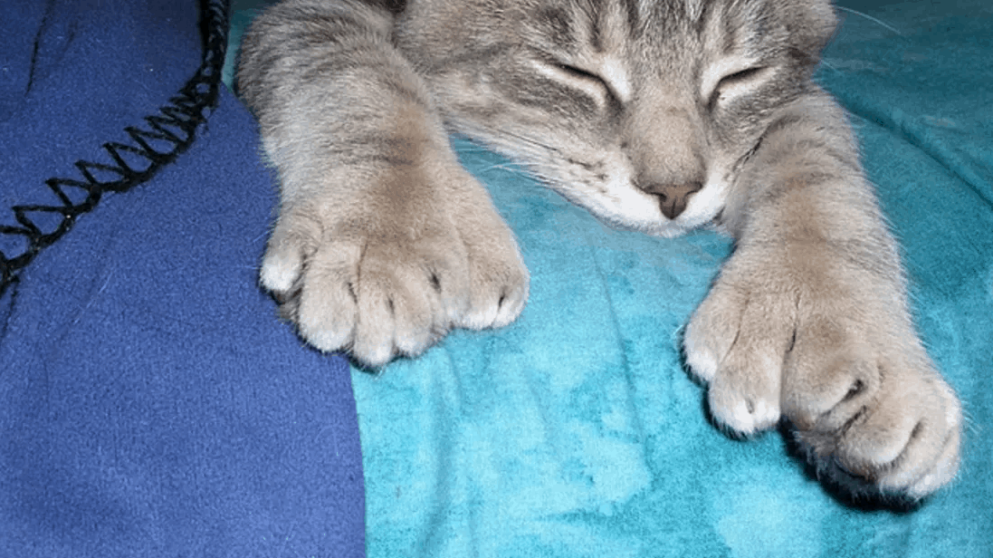 polydactyl cat facts