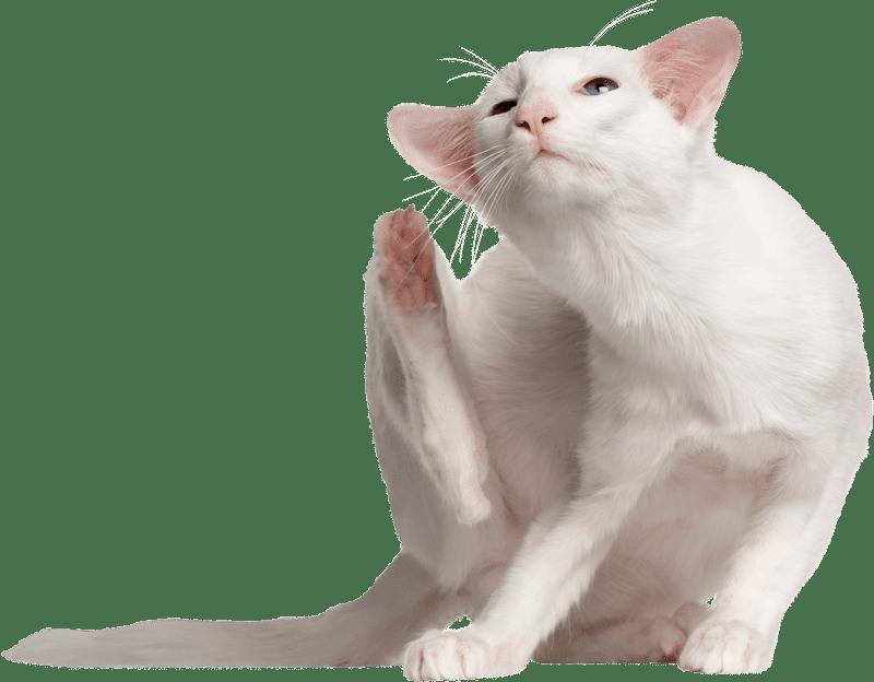 what is feline dermatitis?