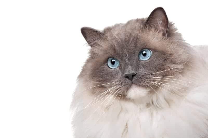 ragdoll cat facts