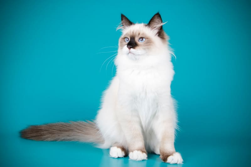 ragdoll cat facts