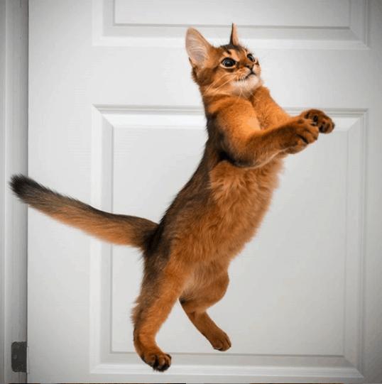 errol the somali cat