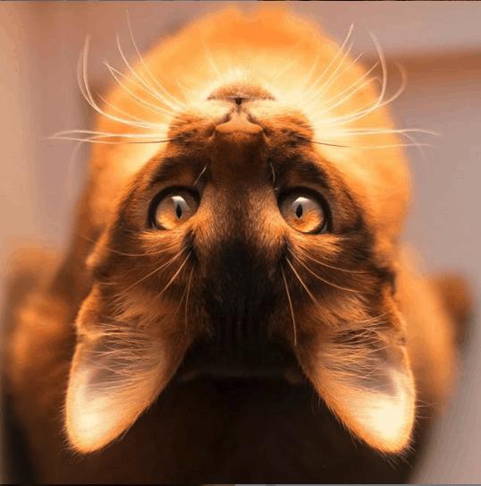 errol the fox cat