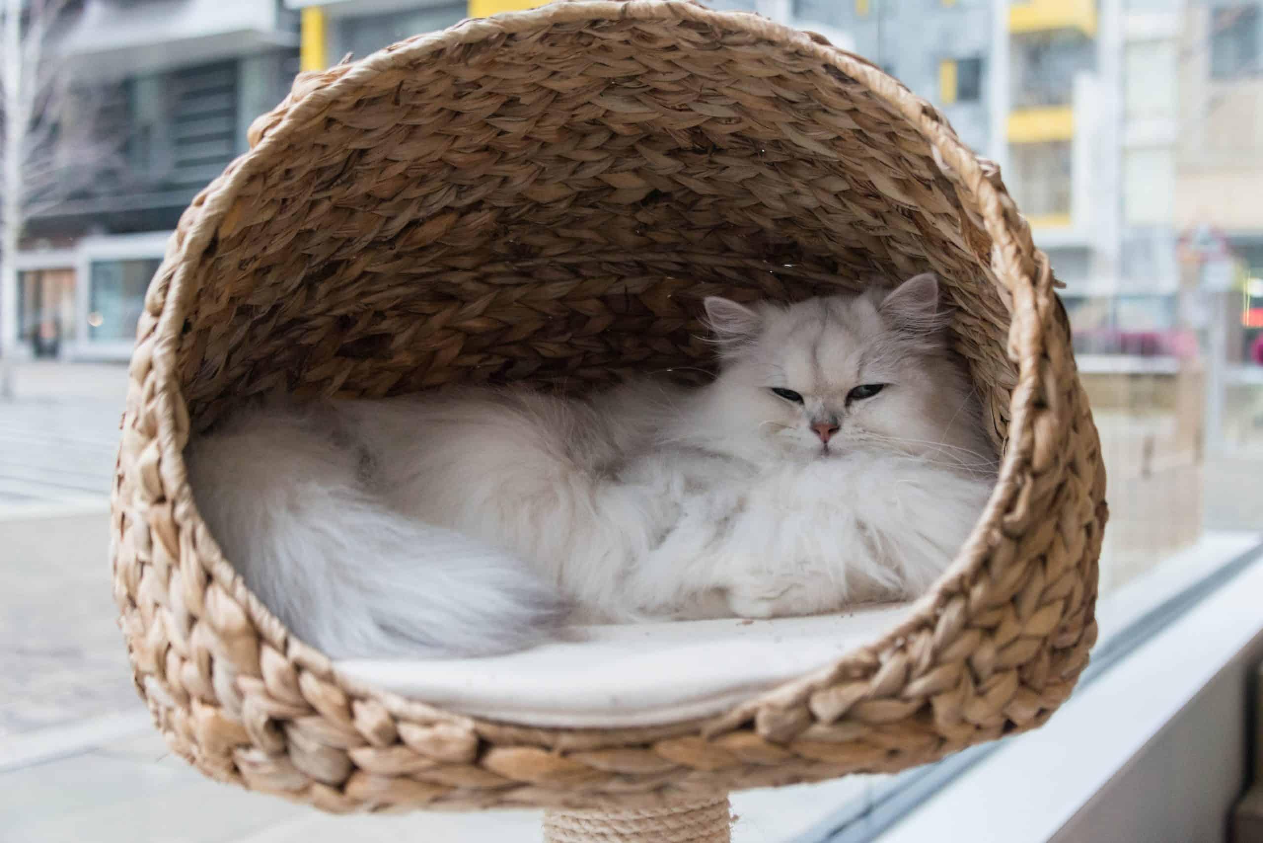 rare cat coat colors