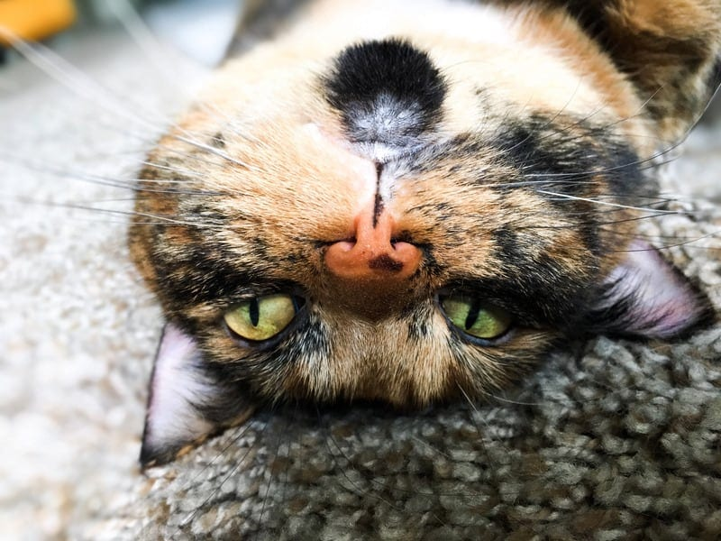 Why do cats get freckles?