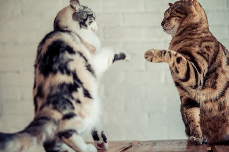 tips for introducing cats