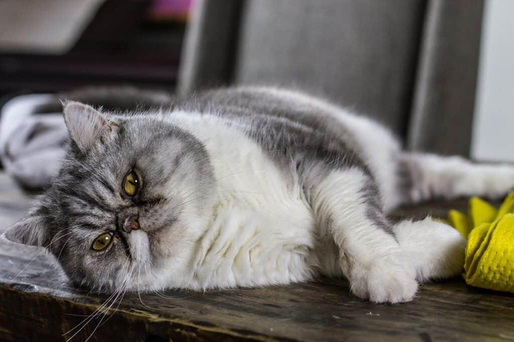 cat senior years