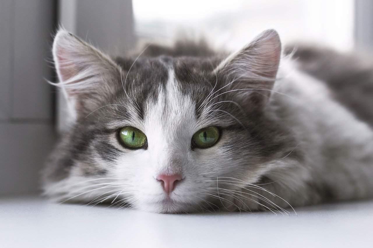 cat wit green eyes