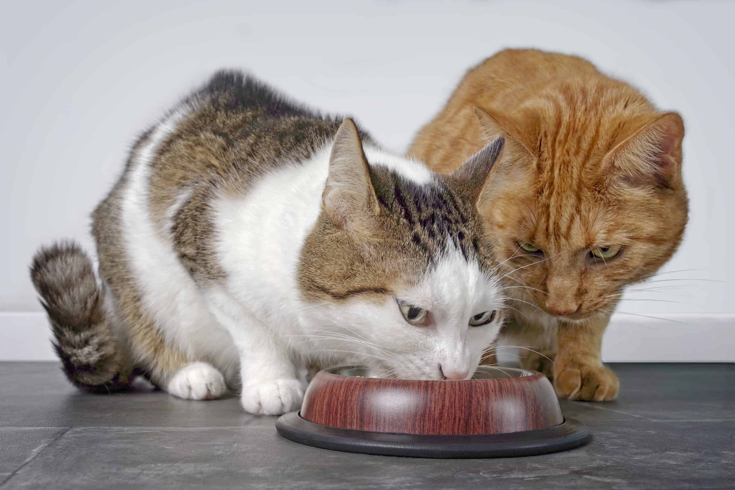 why are cats always eating?