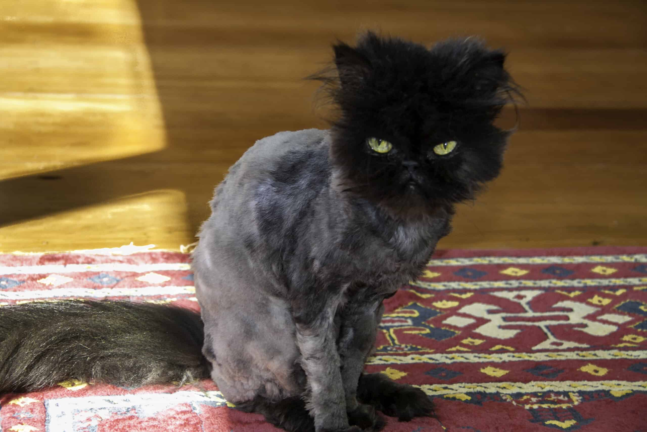 things to consider before shaving your cat