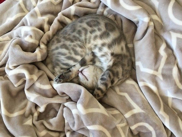 cats suck on blankets