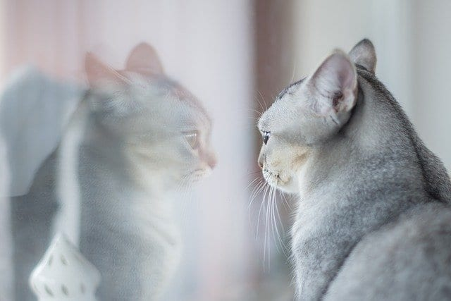 cats understand mirrors
