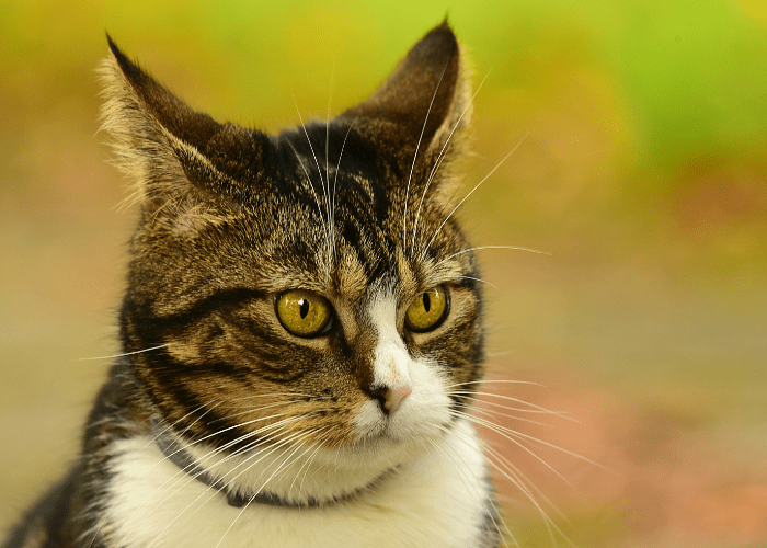 tips to clean your cat's ears