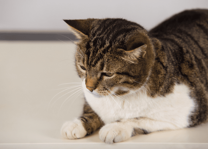 Incontinence in cats