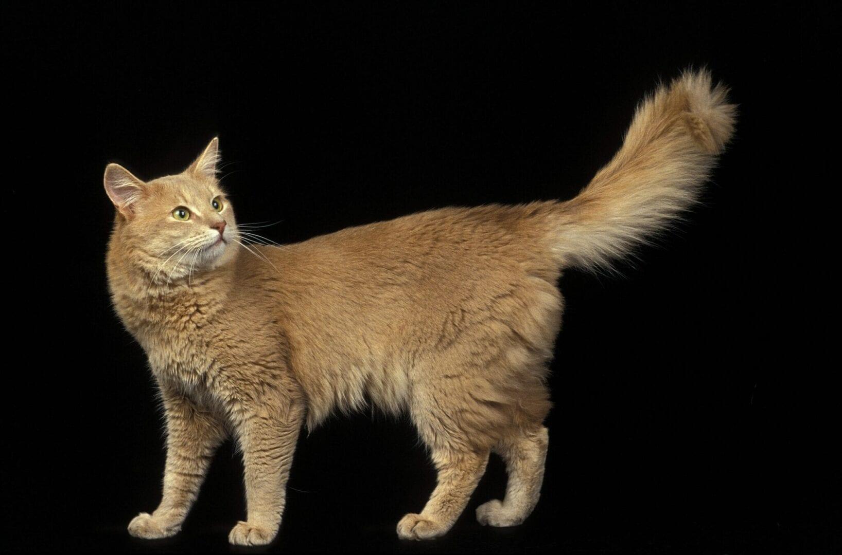 fawn Somali cat