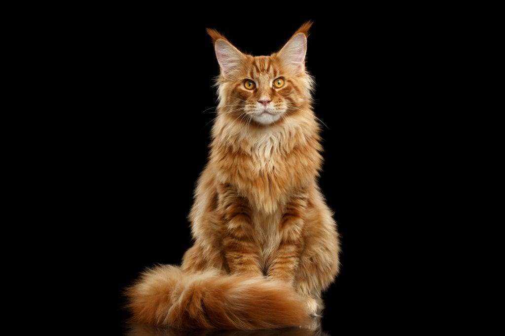 long-haired cat coat tips