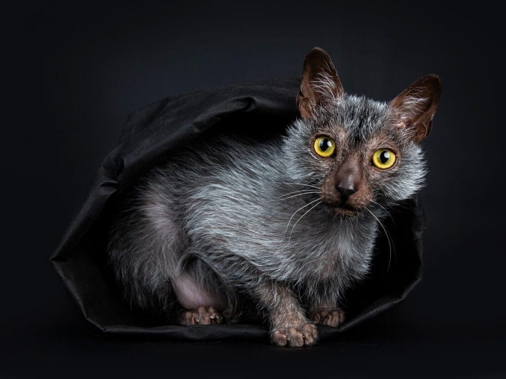 werewolf cat lykoi