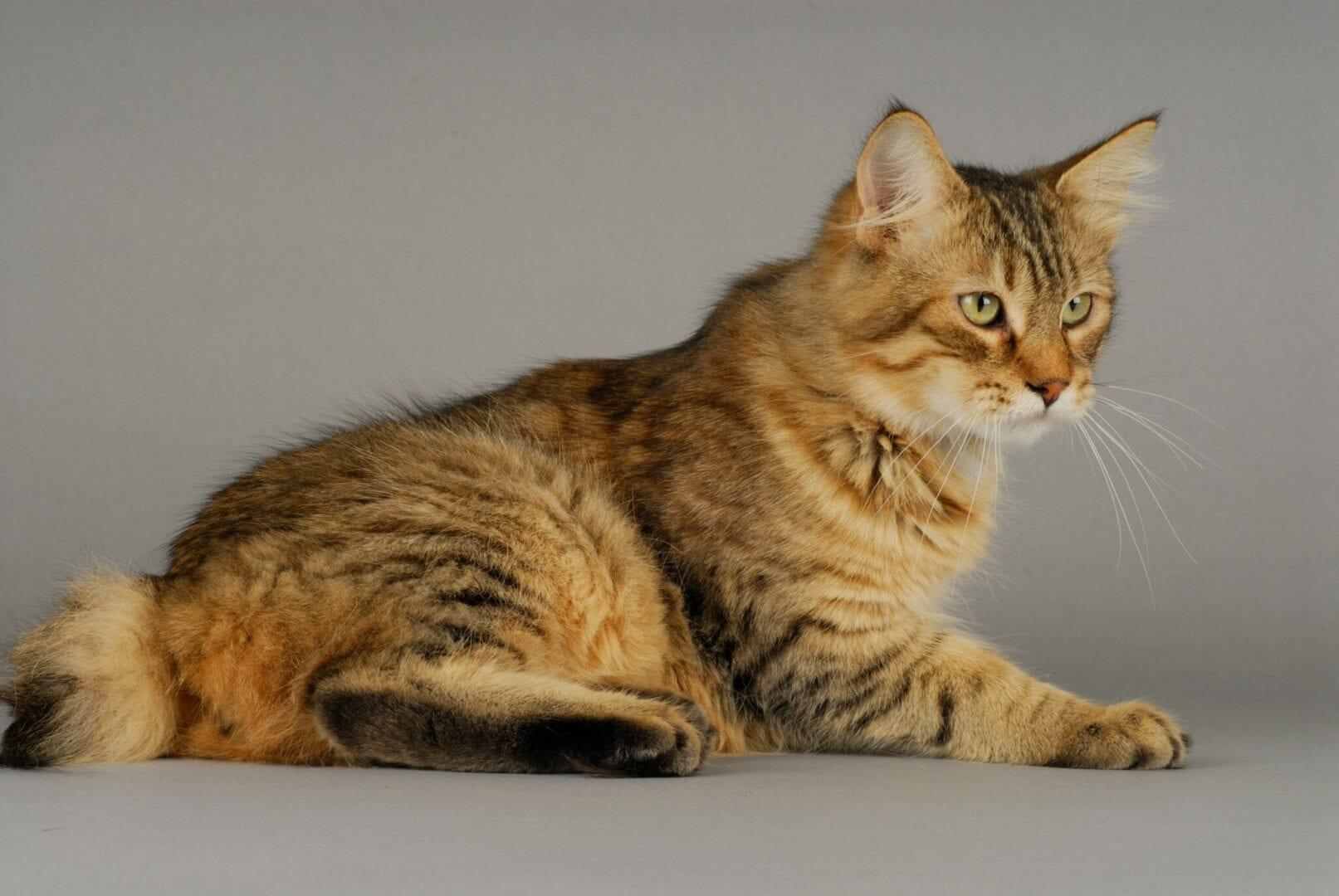 Pixie Bob cat breed facts