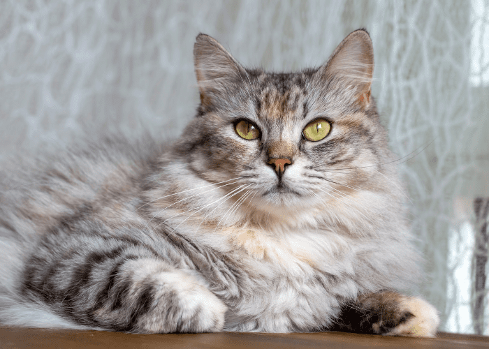 long-haired cat coat tips